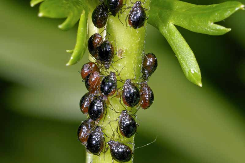 A cluster of black bean aphids (Aphis fabae) on a plant stalk. Macro image.