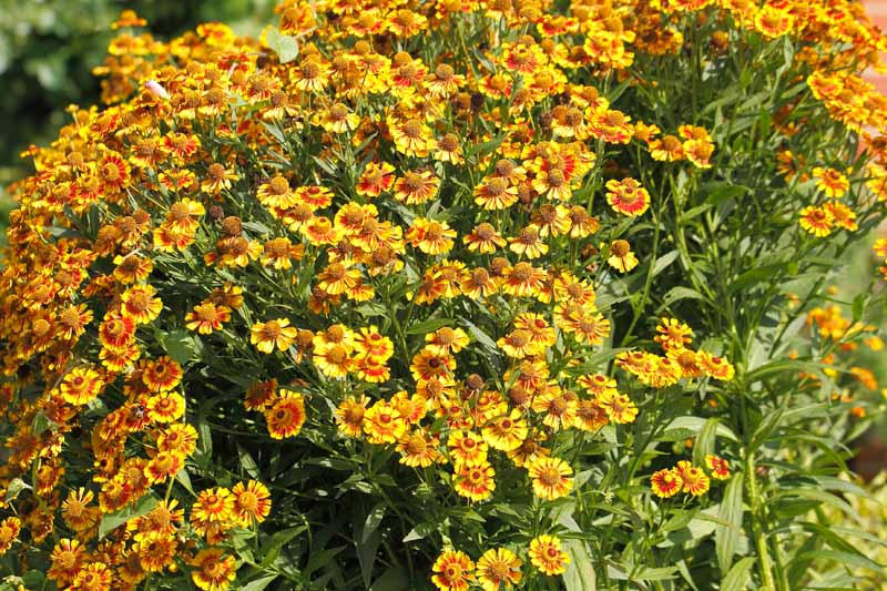 A mass of blanket flowers (Gaillardia aristata) in mass planting in a flower bed.