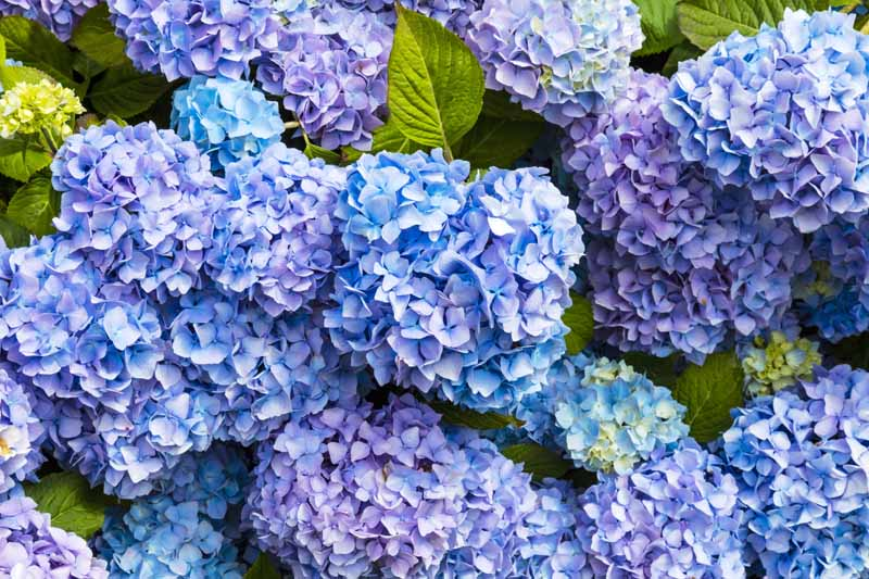 A close up horizontal image of Hydrangea macrophylla in bloom pictured in light sunshine.
