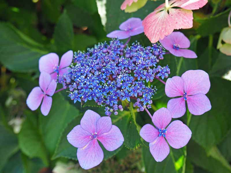 A close up horizontal image of a blue flower cluster of lacecap hydrangea flowers.