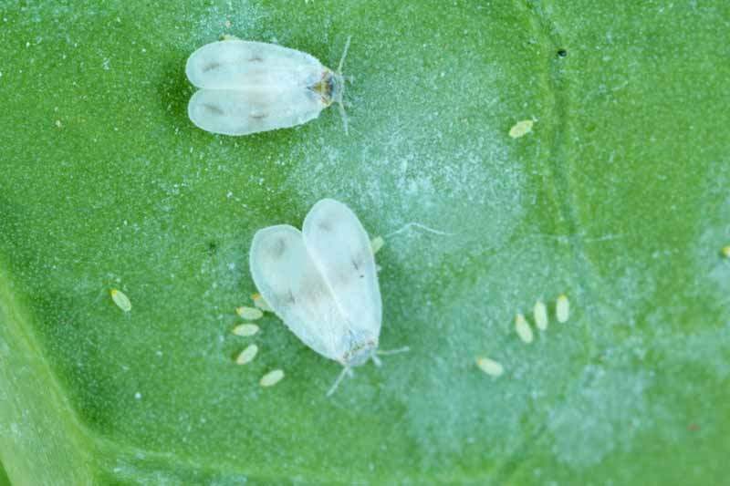 Cabbage Whitefly (Aleyrodes proletella) adults and larvae on a green turnip leaf.