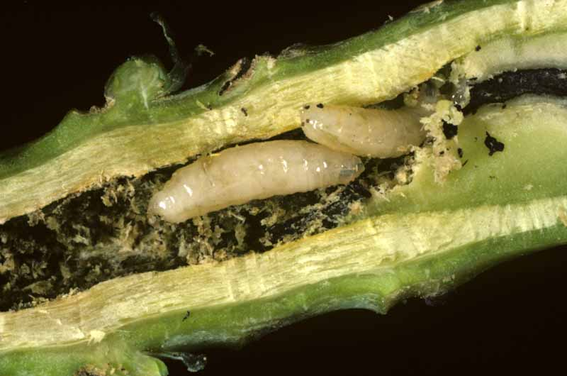 Cabbage fly (Delia radicum) root maggots tunneling into brassica roots.
