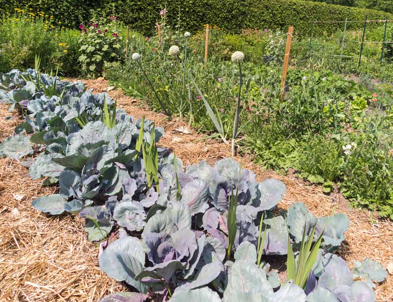 Cabbage plants in a veggie garden surrounded by a thick layer of mulch.