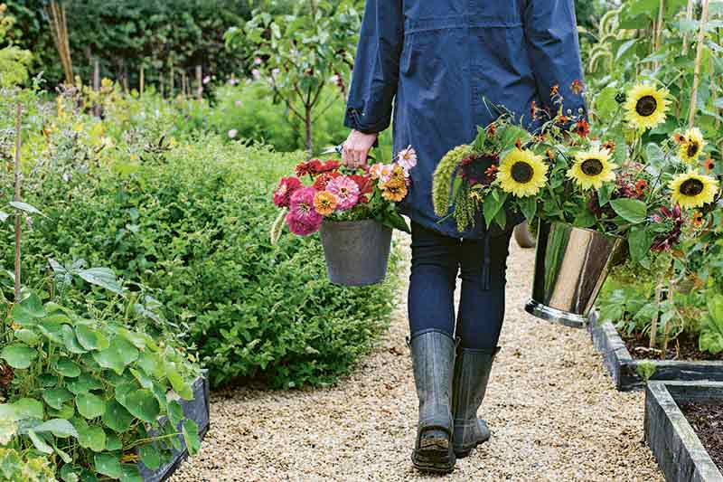 Horizontal closely cropped image of a woman clad in rubber boots, jeans, and a blue jacket, holding a large silver plastic vase of cut sunflowers and another container of cut pink, red, and orange zinnias, walking along a mulched garden path, with plants growing to the left and right in raised beds and an in-ground border.