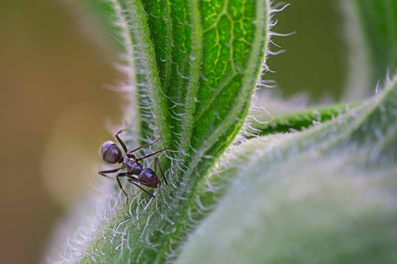 Odorous house ant on a leaf.