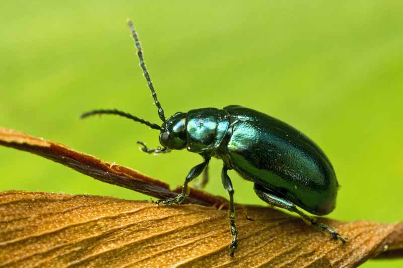 A dark green flea beetle. Close up, macro image.