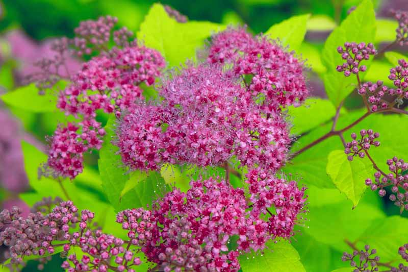Close up of dark, rich pink purple flowers of Spirea billardii.