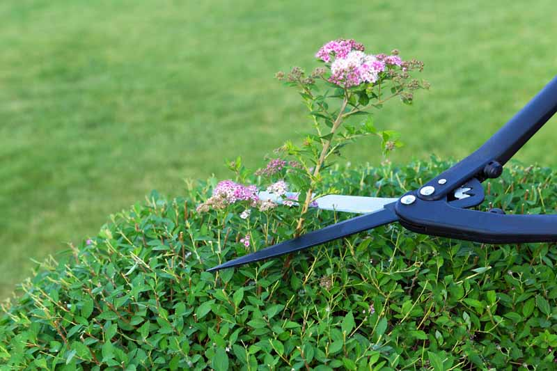 A pair of clippers remove spen spirea flowers.
