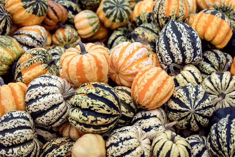 Gourds in the genus Cucurbita showing wildly different colors and patterns.