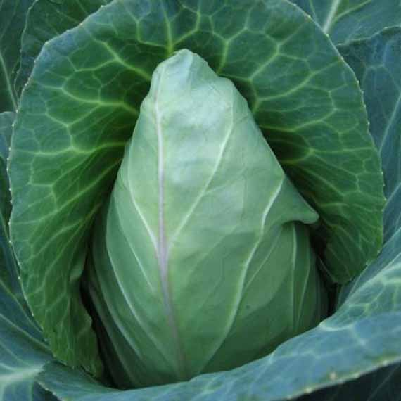 An elogated Early Jersey Wakefield cabbage growing in a home vegetable garden.