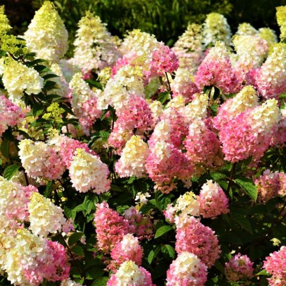 First Editions® Strawberry Sundae® Hydrangea in bloom with flowers that have yellow, cream, and pink all on one flower cluster.