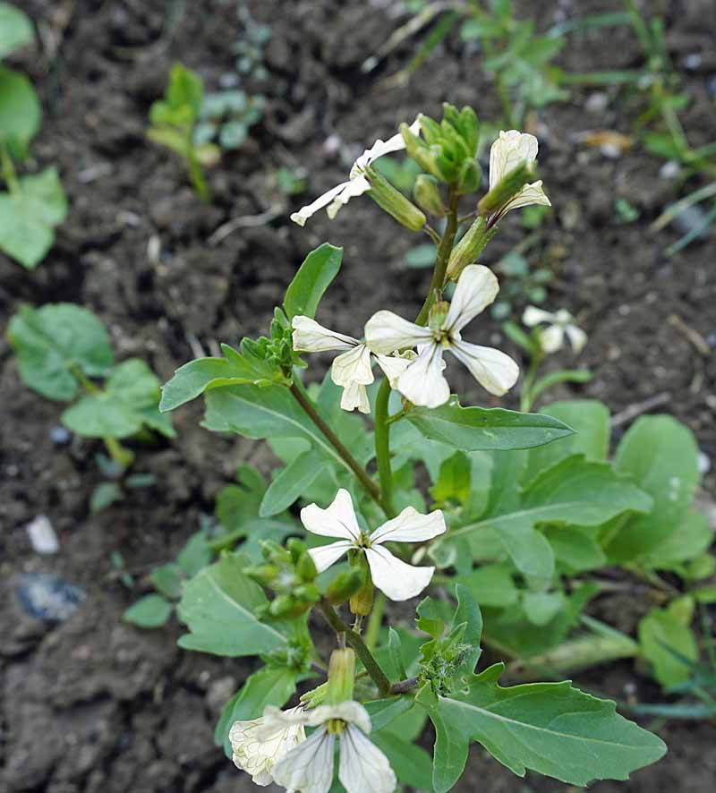 Arugula or rocket greesn in bloom with small white flowers.