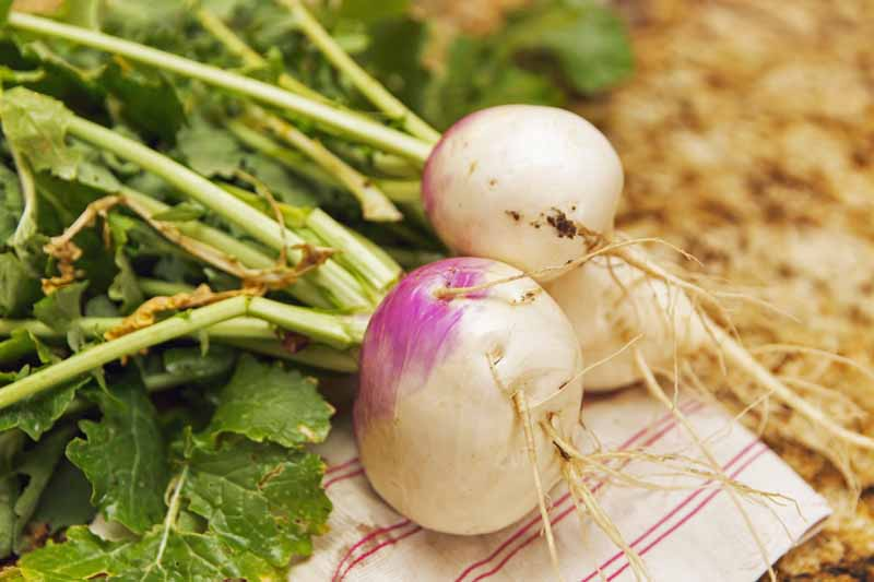 Purple topped turnips with greens attached laying on a dish towel in the garden.
