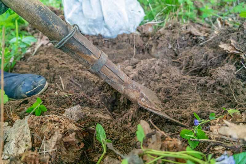 A gardener uses a shovel to turn over soil in a garden bed.