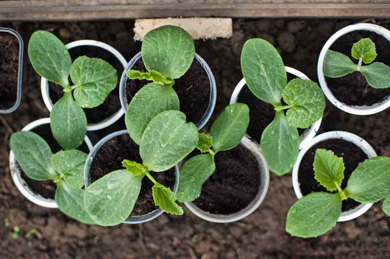 Top down view of gourd seedlings in styrofoam cups.