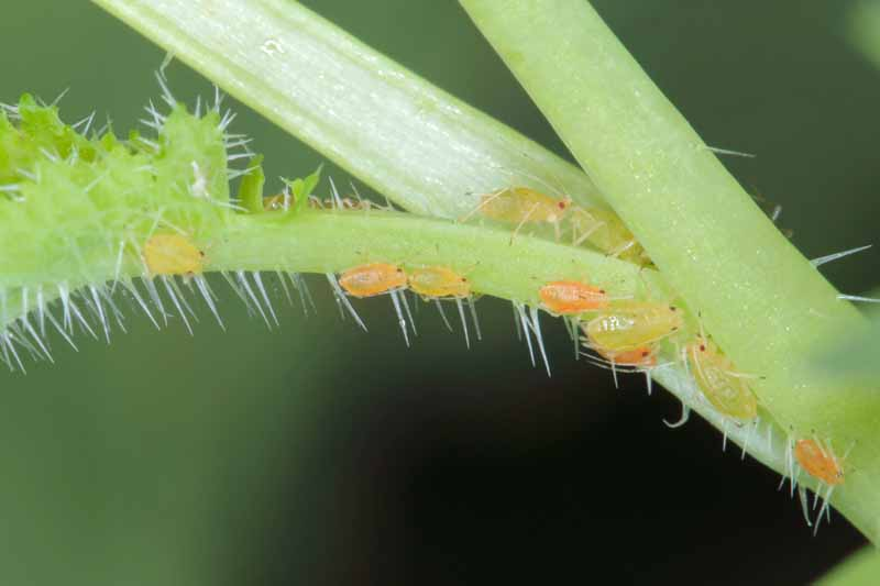 A small group of green peach aphids (Myzus persicae) crawling on a stem.