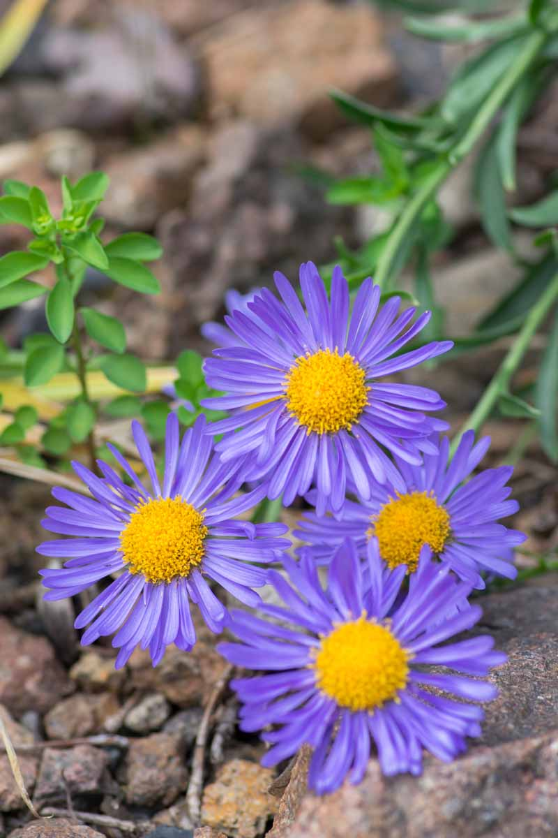 Close up of lavender blue alpine aster flowers in bloom with yellow centers.