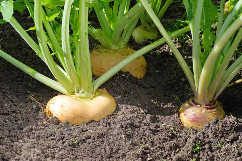 Tan colored turnip roots growing in the garden. Side profile showing both the top of the root still in the soil along with part of the greens.