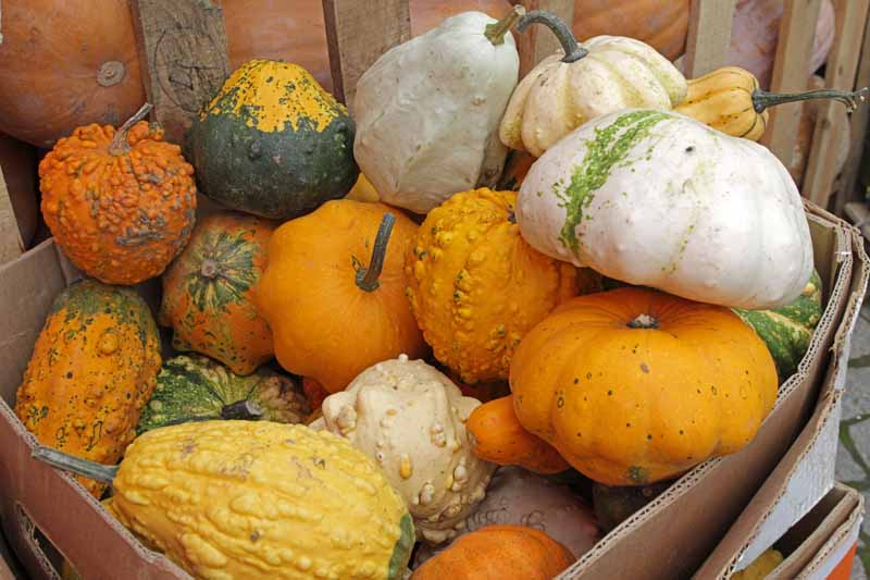 A group of colorful ornamental gourds that have been harvested and placed in a woode crate.