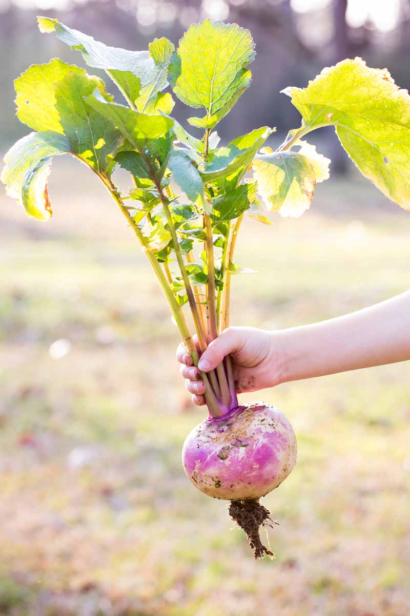 A human hand holding a freshly pulled turnip by its green top.
