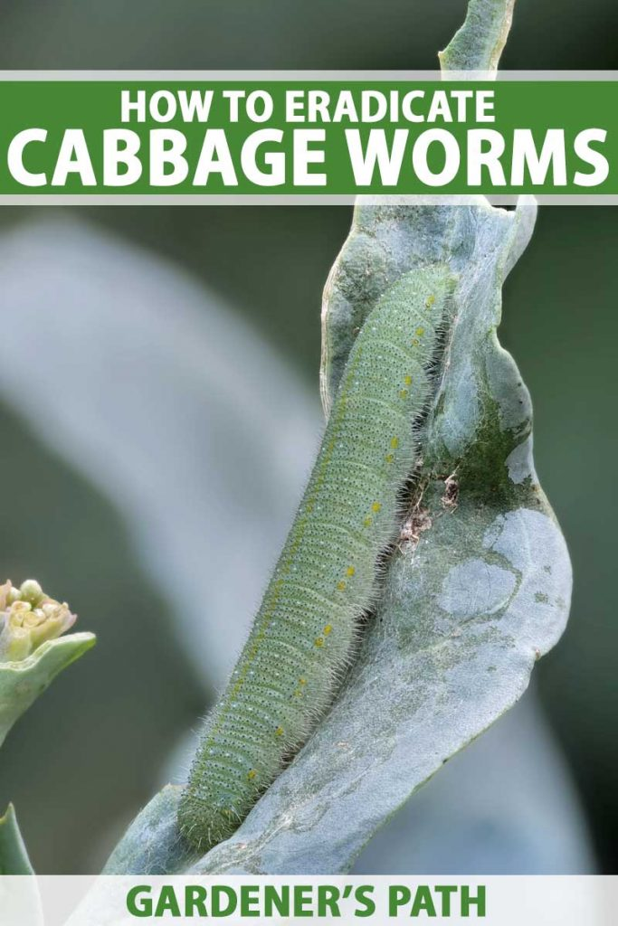 Close up of cabbage worm (Pieris rapae) on a brassica leaf.
