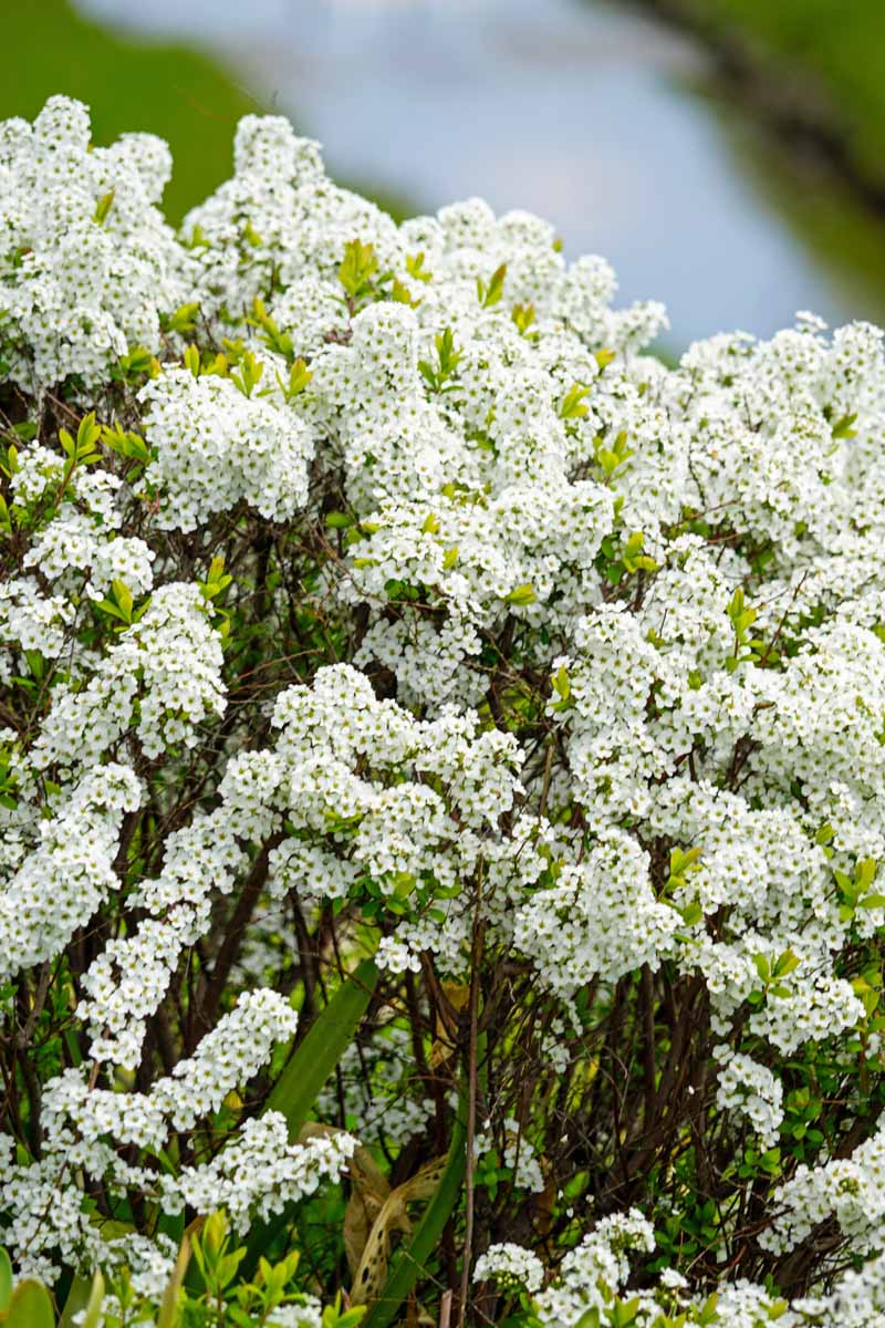 A mass of tiny white flowers on a spirea bush.