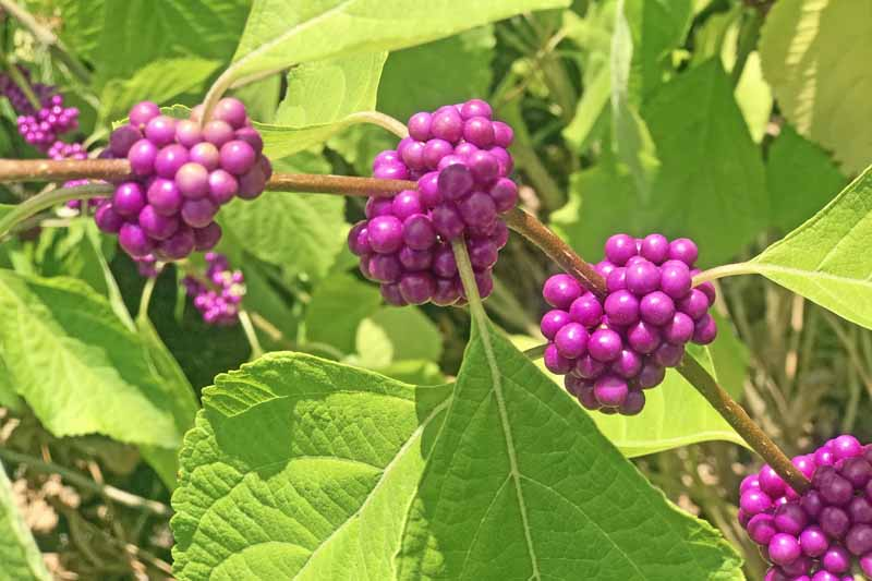 Close up of purple seed clusters of the American beautyberry bush pictured in bright sunshine on a soft focus background.