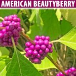 Close up of purple berries and green leaves of the American beautyberry shrub.