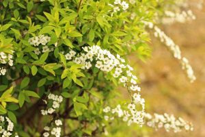 How to Grow Mellow Yellow 'Ogon' Spirea: a Shrub for All Seasons