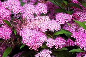 How to Grow and Care for Spirea Bushes