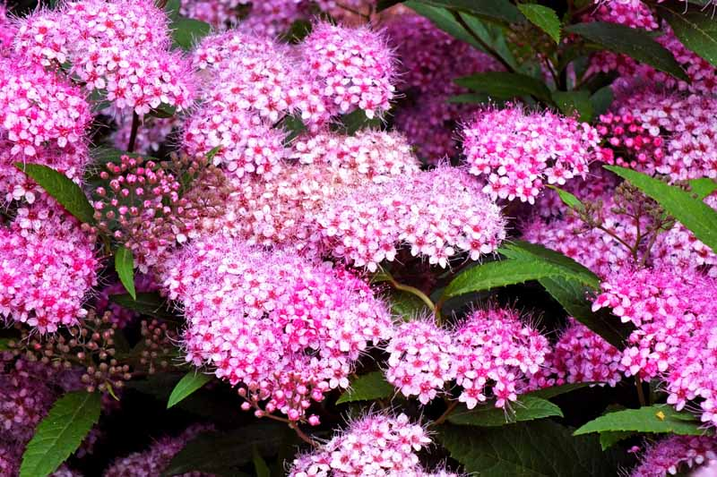 Small clustered pink blooms of spirea flowers.