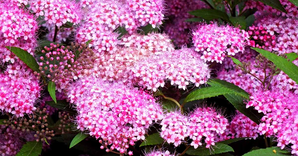How To Grow And Care For Spirea Bushes Gardener S Path