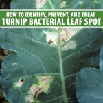 Close up of bacterial leaf spot on a turnip leaf.