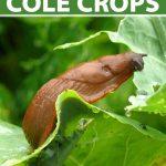 Close up of a slug crawling on a damaged cabbage leaf.