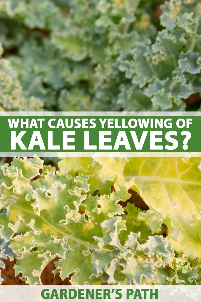Kale leaves in a garden setting turning yellow. Cloe up.
