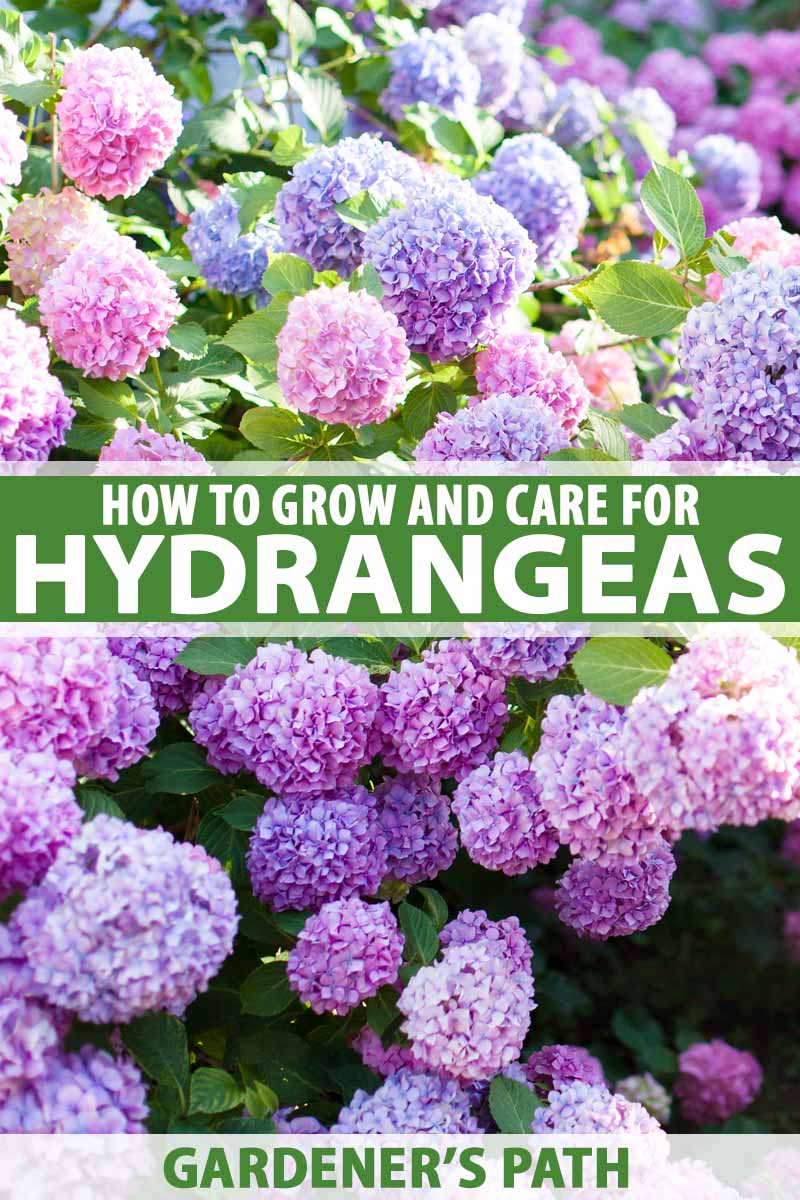 How To Plant Grow And Care For Hydrangeas For Big Blossomed Beauty