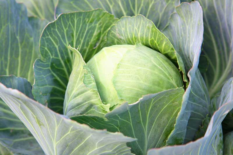 A close up of a head of green cabbage growing in a vegetable garden..