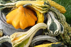 How to Plant and Grow Ornamental and Hardshell Gourds