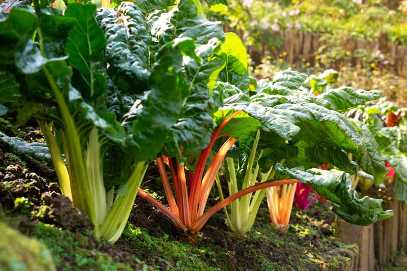 A row of swiss chard with orange, red, and green stalks.