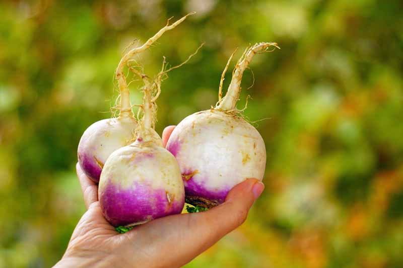 Three freshly harvested purple topped turnips in a human hand. Diffused background.