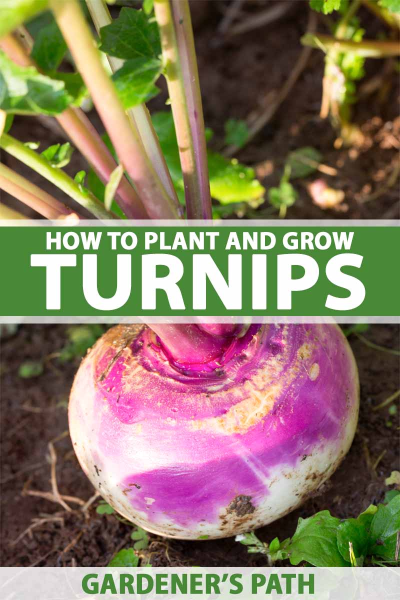 Cloe up of a purple topped turnip growing in the garden.