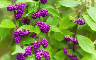Close up of branches of American beautyberry with ripe berries in early fall.