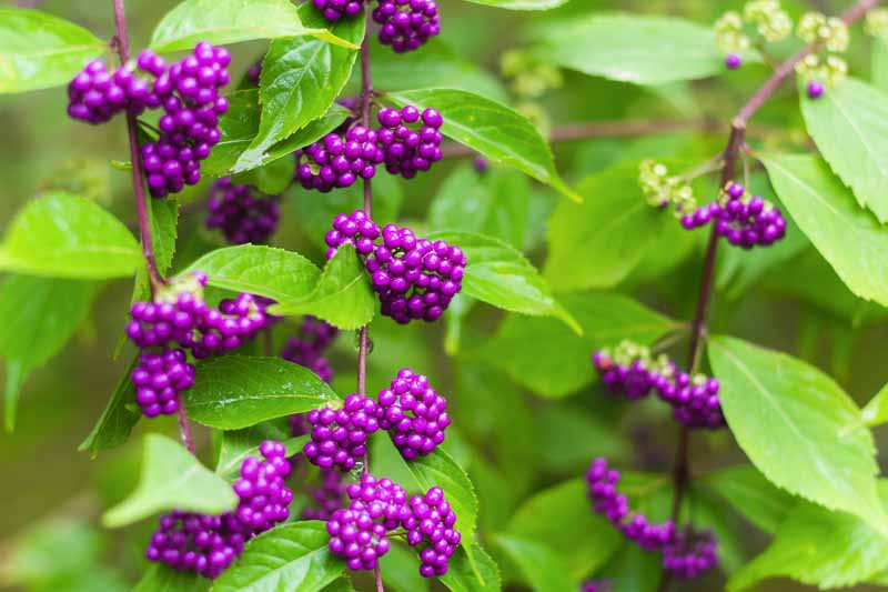 Close up horizontal image of branches of American beautyberry with ripe berries in early fall, pictured in light sunshine.