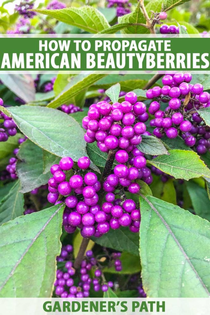 Close up of purple American beautyberry seeds growing on the shrub in early Autumn.
