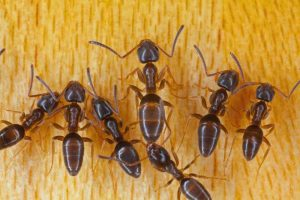 How to Control Odorous House Ants