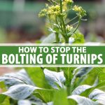 A turnip plant in a veggie garden with a small root that's trying to bolt and go to seed.