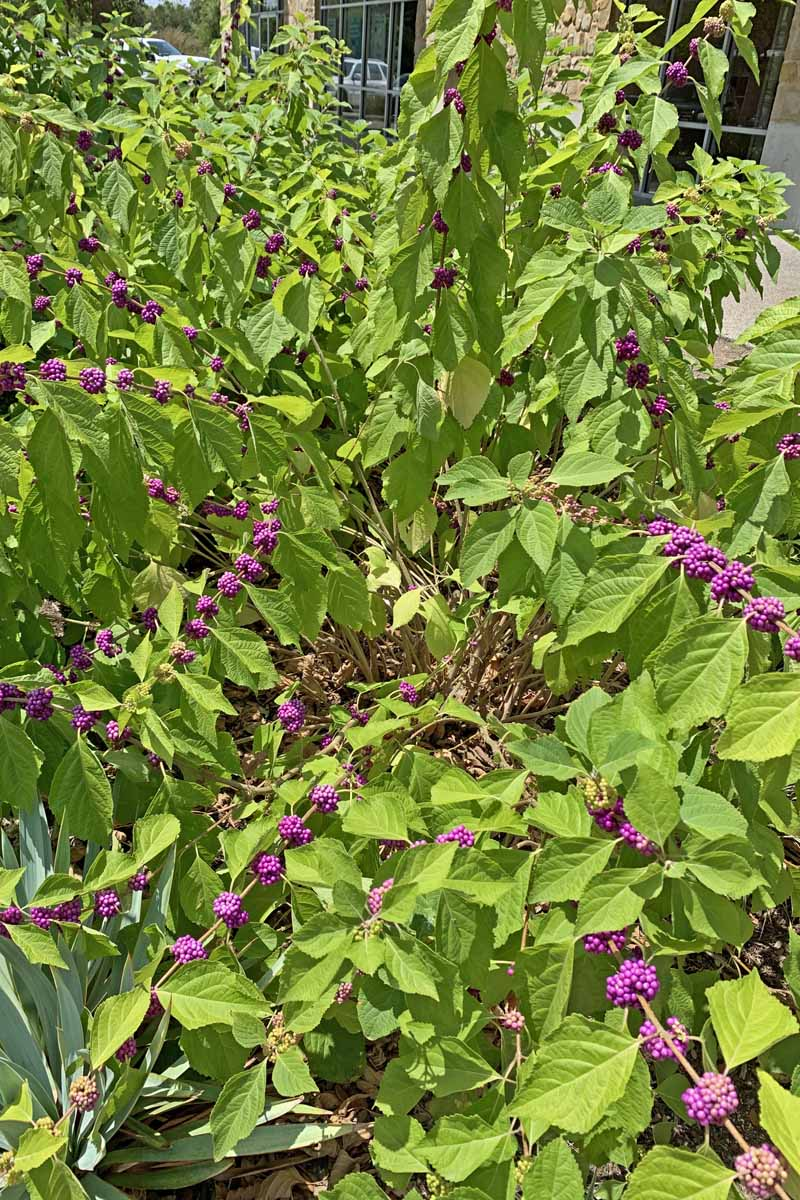 Callicarpa americana or American beautyberry shrub with purple berry clusters on its branches.
