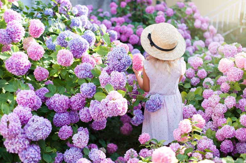 A little girl stands in flower garden with hydrangea shrubs in bloom with pink, purple, and blue blossoms.
