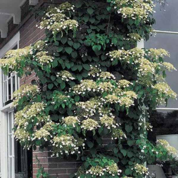 Hydrangea anomala petiolaris climbingas vine on the porch of a house.