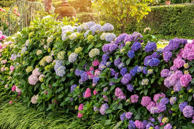 A close up horizontal image of a hedge made with hydrangea shrubs which are in bloom with purple, pink, and white blooms.